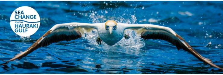 Australasian gannet taking off