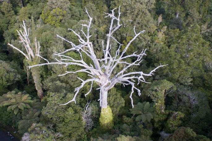 dead-kauri-trees-1920